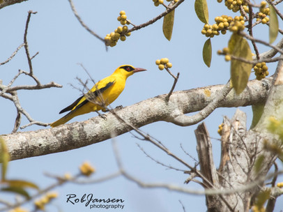 African Oriole