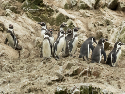 Humbolt's Penguins