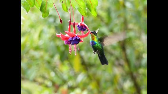 Fiery-throathed Hummingbird