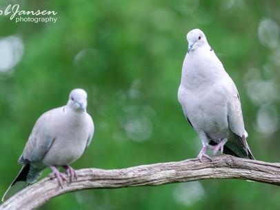 Eurasian Collared Dove - Turkse Tortel
