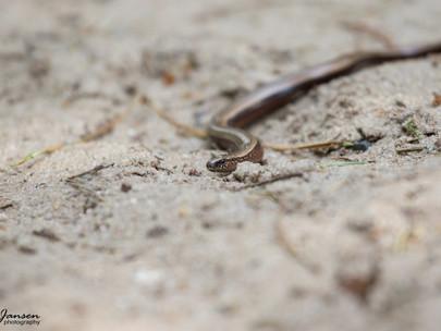 Limbless Lizard