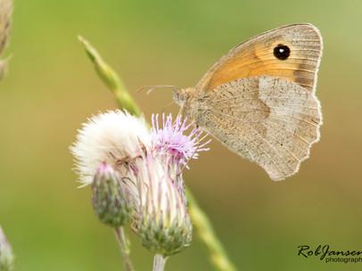Meadow Brown (Bruin Zandoogje)