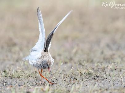 Common Redshank - Tureluur