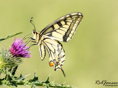 Common Yellow Swallowtail (Koninginnepage)