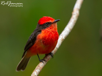 Male Little Vermilion Flycatcher