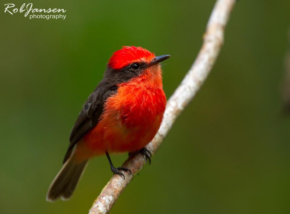 Little Vermilion Flycatcher