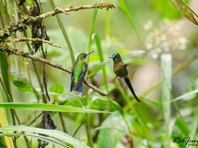 Violet-crowned Woodnymh & Violet-tailed Sylph