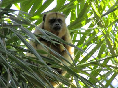Black-and-Gold Howler Monkeys