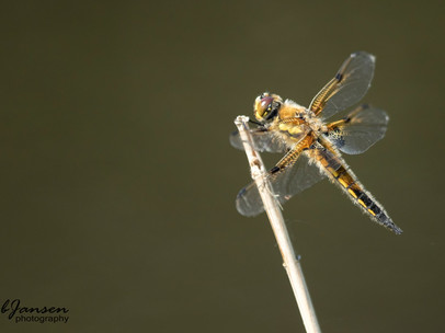 Four-spotted Chaser - Viervlek