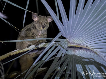 Thick-tailed Galago