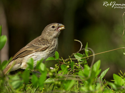 Female Medium Ground Finch