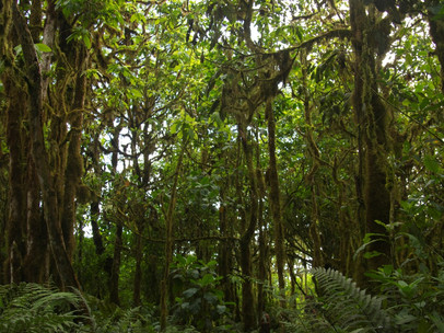 Scalesia forests