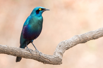 Great Blue-eared Starling