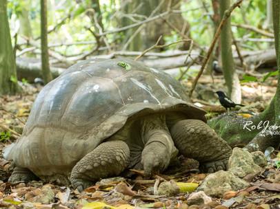 Giant Tortoise + Magpie Robin
