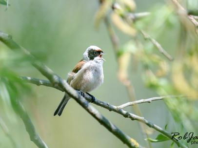 Eurasian Penduline Tit - Buidelmees
