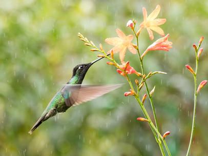 Talamanca Hummingbird with orange flowers