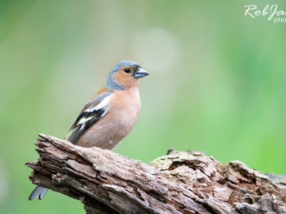 Common Chaffinch - Vink