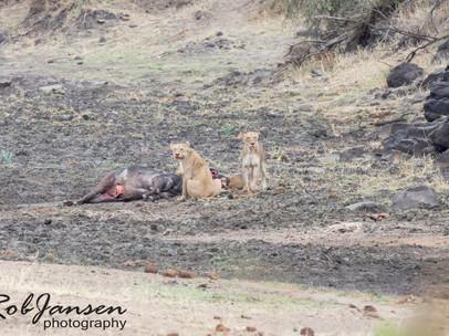 The Lion Kill
