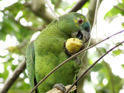 Torquoise-fronted Parrot