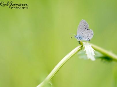Small Blue (Dwerg Blauwtje)