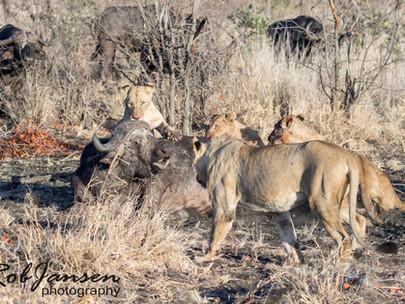 The Lion Kill 3