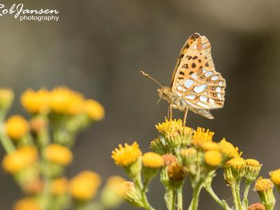 Queen of Spain Fritillary (Kleine Parelmoervlinder)