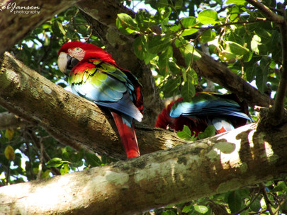 Red-and-Green Macaws