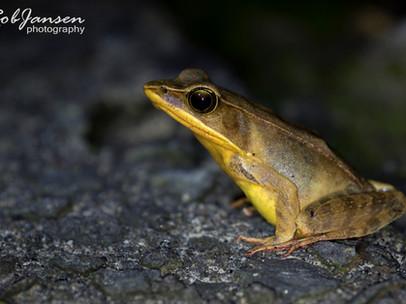 Warszewitch's Frog