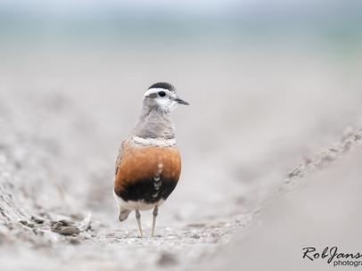 Eurasian Dotterel - Morinelplevier