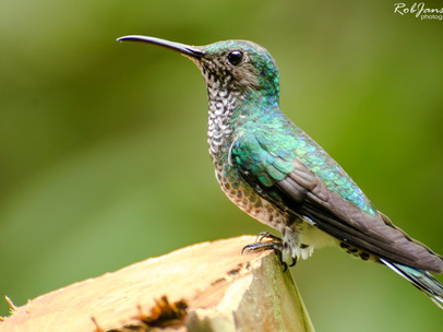 Female Whilte-necked Jacobin