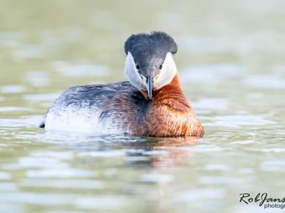 Red-necked Grebe - Roodhalsfuut
