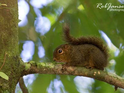 Central American Pygmy Squirrel