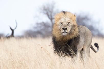 Lion on the savannah