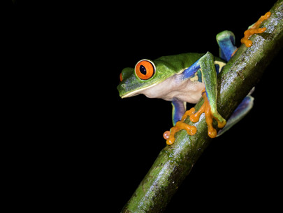 Red-eyed Treefrog from the side