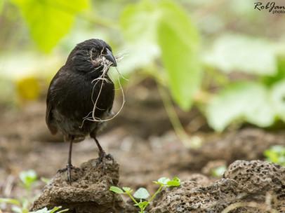Male Medium Ground Finch
