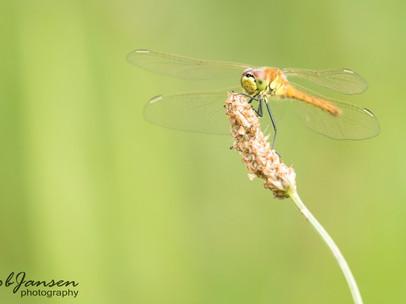 Spotted Darter - Kempense Heidelibel