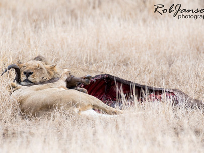 The Lion Kill 2