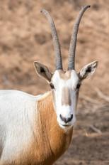 Scimitar-horned Oryx