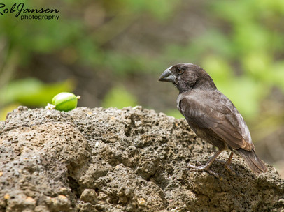 Male Large Ground Finch