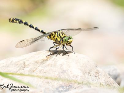Small Pincertail - Kleine Tanglibel