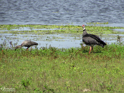 Plumbeous Ibis and Southern Screamer