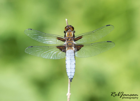 Broad-bodied Darter