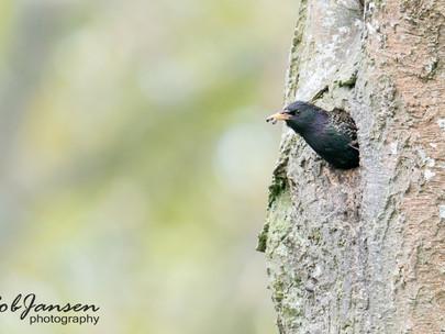 Common Starling - Spreeuw