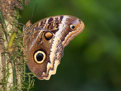 Pale Owl-butterfly