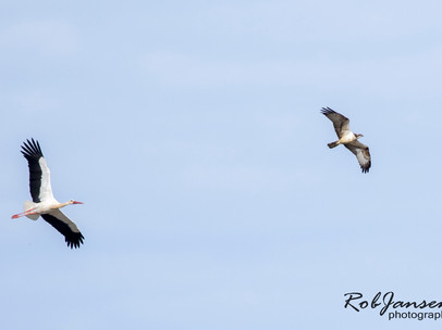 White Stork and Osprey