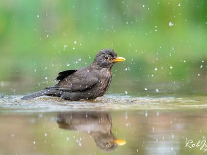 Common Blackbird - Merel
