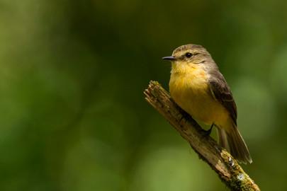 Female Darwin's Flycatcher