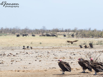 Lapped-faced Vultures