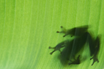 Seychelles Treefrog