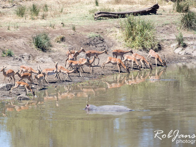 Impala going for a drink